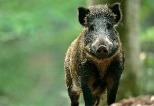Африканская чума свиней добралась до Ленинградской области