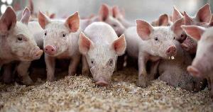Две площадки Мордовского племенного центра сдают первые партии свинины