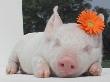 Мордовия вошла в двадцатку крупнейших производителей свинины в стране