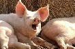 Три свиноводческих предприятия Тульской области не выдержали проверку качества