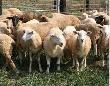 Курским фермерам предложили разводить коз, коров и овец
