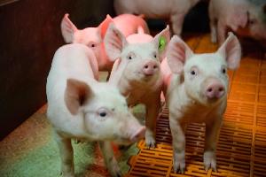 «Мираторг» увеличил на 4,3% до 55,8 тыс. тонн производство свинины в Курской области в первом полугодии 2018 года