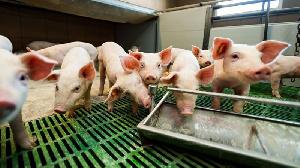 Томский агрохолдинг намерен в 2019г увеличить выпуск свинины на 60%