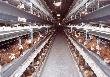 Томская область впервые за 10 лет сократила производство мяса птицы