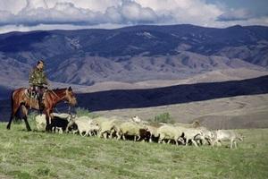 Алтайский фермер вывел свою породу овец и за пять лет увеличил стадо в 15 раз