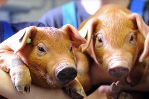 Сельхозпредприятие «Антипинское» Алтайского края увеличило производство свинины