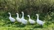 Северная птица вытеснит с прилавков польскую и венгерскую