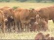 В новый племенной центр в Судиславском районе прибыла первая партия французских коров