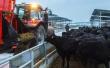 Поголовье мясного скота в Калужской области приближается к 60 тысячам голов