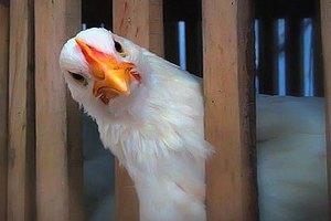 В Самарской области была преднамеренно обанкрочена птицефабрика