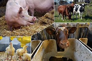 В Марий Эл в хозяйствах сельхозпроизводителей увеличилось поголовье свиней и птицы