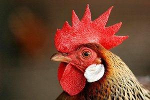 Турки построят птицефабрику в Катаре