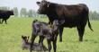 Материнское стадо Калининградской мясной компании в 2019 году выросло на 30%