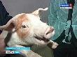 В заброшенных помещениях бывшего коровника создана высокотехнологичная свиноферма