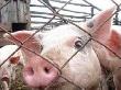 Африканская чума свиней может придти в Волгоградскую область