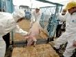В Тверской области ограничительные меры по африканской чуме свиней сохранятся до сентября 2012 года