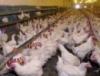 В Свердловской области власти сохранят Кировоградскую птицефабрику