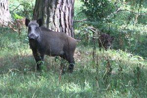 Популяция кабанов в польских лесах еще слишком велика