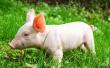 События в Германии поставили польских производителей свиней в драматическое положение