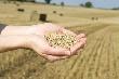 На юге России ускорился рост цен на пшеницу, стоимость кукурузы снизилась