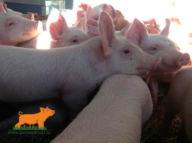 Поросята  отъемыши со свинокомплекса в Калужской области.