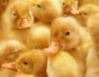 """""""Юбилейному"""" подыскивают инвестора. Приватизируется государственный племзавод по производству яйца утки"""