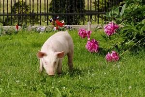 Сто евро за свинью: Минсельхоз Литвы пообещал фермерам выплаты за отказ от свиноводства