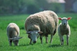 В Хакасии растет поголовье овец