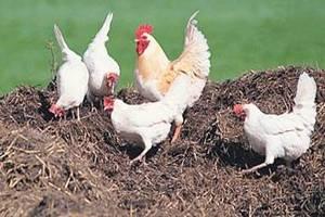 Липецкие предприятия удобряли поля куриным пометом