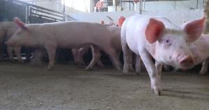 Пермский свинокомплекс на 24% увеличил объем производства свинины