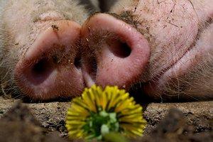 Мировое производство свинины вырастет на 2% в 2018 году