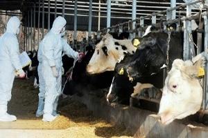 Случай бруцеллеза крупного рогатого скота зафиксировали в Коломенском районе Московской области