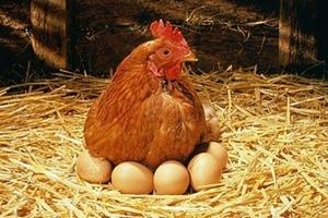 «Белая птица» инвестирует 5,8 млрд рублей в производство инкубационных яиц