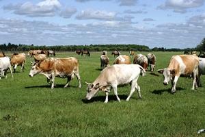 Несколько крупных инвестпроектов, стартовавших в Липецкой области, обещают стабильное развитие мясному животноводству