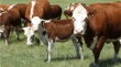 В Пензенской области поголовье крупного рогатого скота составило 282,6 тыс голов