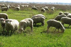 Астраханские овцеводы готовятся принять более миллиона ягнят