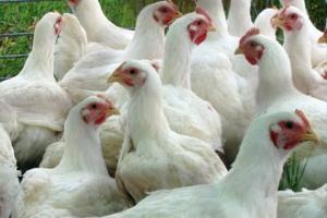 Южная Африка обсуждает заключительные условия импорта птицы из США