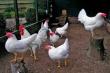 В ЮАР из-за птичьего гриппа могут вырасти цены на кур
