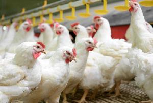 Производство продукции птицеводства в 2020 году может составить 6,7 млн тонн