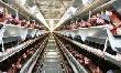 На птицефабрике завершена стопроцентная автоматизация