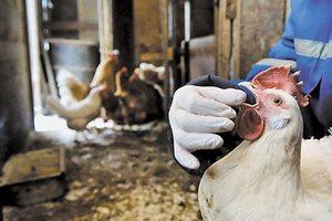 Франция сообщила о еще трех вспышках птичьего гриппа