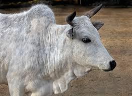 Бразилия рассчитывает поставлять в Россию молодняк живого скота зебувидных мясных пород