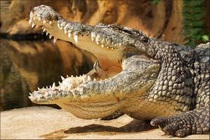 Продажи мяса крокодила компании Padenga Holdings в Европе выросли в 2015 году на 25%