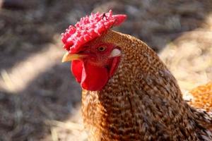 «Шушенская птицефабрика» переходит на производство бройлеров