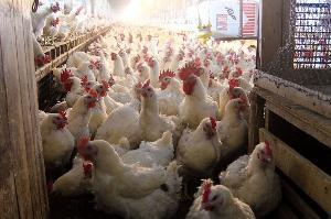 В России в первом квартале этого года производство птицы упало на 2,1%