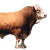 Скотоводство и КРС