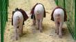 Свинокомплекс произвел долги