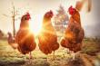 В Испании на 25% выросли продажи курятины