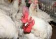 Поголовье птицы в Приморье за год сократилось вдвое. Предприятия региона закрываются