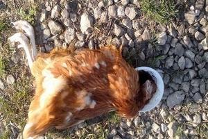 """""""Зеленые"""" обнародовали материалы о серьезных нарушениях на немецкой птицефабрике"""